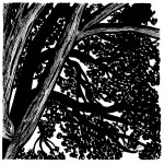 Close of up beautiful Hackberry tree in Old North - India Ink on Bristol. $85.00. SOLD.
